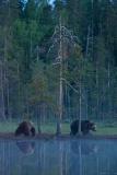 brown-bears-7