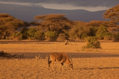 east-african-oryx