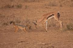 jackel-and-springbok-antelope