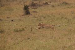 lion-hunt-2