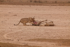 lions-and-prey